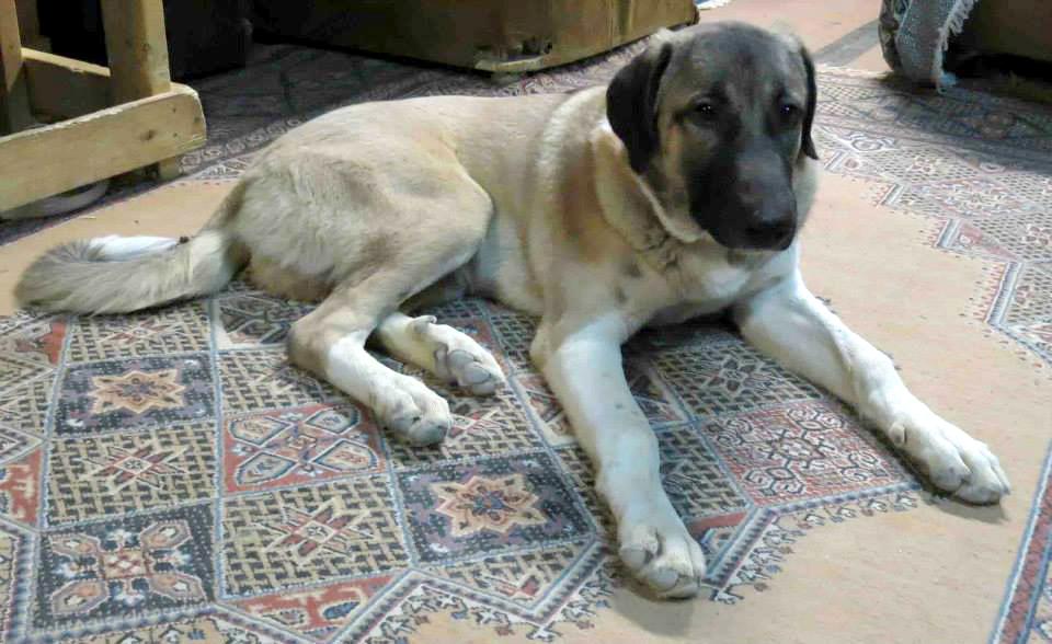 Toby, Afghan Dog1
